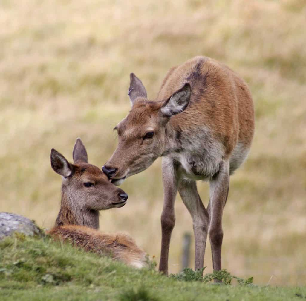 9 Red Deer Hind Grooming Fawn by Ronnie Galloway V2