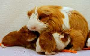 breastfeeding guinea-pig