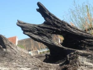 Bog oak or dragon?