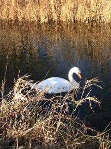Celtic wisdom swans